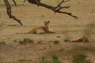 Lion, sous l'orage et la pluie/in the rain