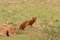 Slender Mongoose/Mangouste rouge