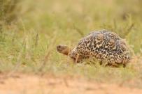 Leopard Tortoise/Tortue léopard