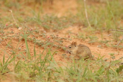 Four-striped Grass Mouse/Rhabdomys Pumilio