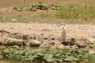 Little Egret/Aigrette garzette