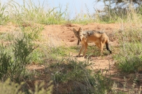 Black-backed Jackal/Chacal à chabraque