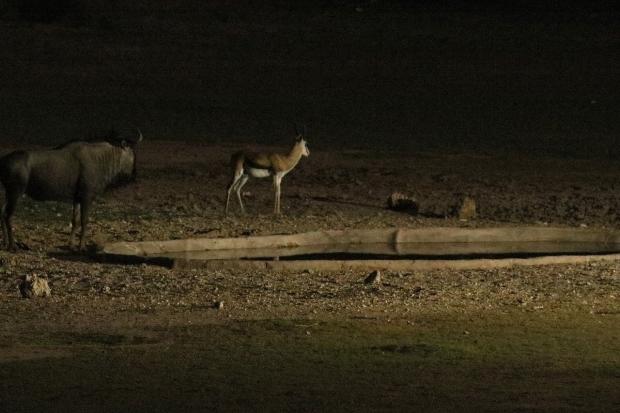Oryx + Springbok