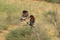 Bateleur Eagle/Bateleur des savanes