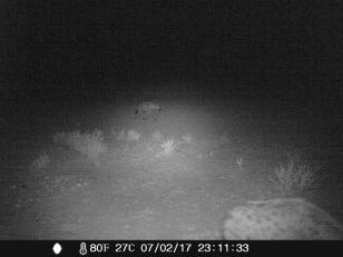 camera trap - Hyène tachetée