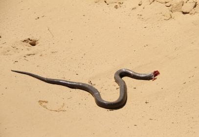 Mole Snake - le Black-chested Snake-Eagle/Circaète à poitrine noire s'est envolé