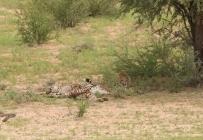 Cheetah - Hanri + le gang