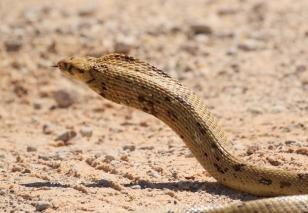 Cape Cobra/Cobra du Cap