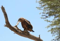 juv. Bateleur Eagle/Bateleur des savannes