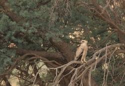 Tawny Eagle/Aigle ravisseur (pale form)