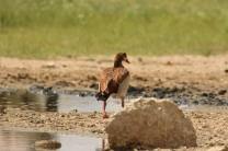 Egyptian Goose/Ouette d'Egypte