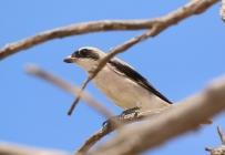 Lesser Grey Shrike/Pie-grièche à poitrine rose