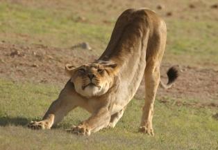Lion - near/prêt de Batulama