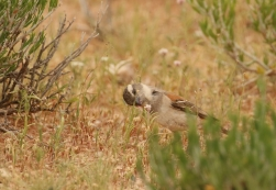 Cape Sparrow/Moineau du Cape