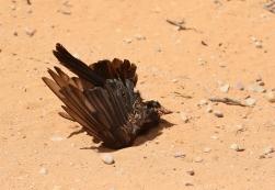 horreur - Drongo mort