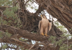 Laner Falcon/Faucon lannier