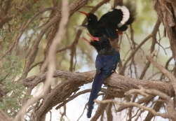 Green Wood-Hoopoe/Irrisor moqueur