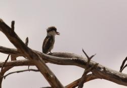 Stripe Kingfisher/Martin chasseur strié