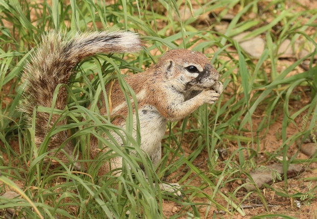 Ground Squirrel / Ecureuil fouisseur