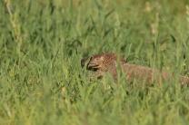Rock Monitor/Varanus albigularis