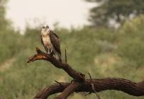 Black-chested Snake Eagle/Circaète à poitrine noire