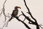 Southern Yellow-billed Hornbill/Calao leucomèle