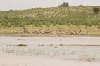 Springboks à la plage