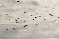 Abdim's Stork/Cigogne d'Abdim