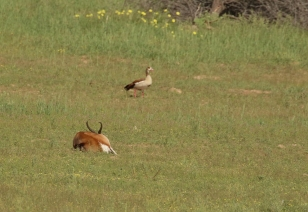 Springbok et Ouette d'Egypte