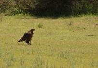 juv Bateleur Eagle/Bateleur des savannes