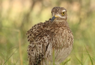 Spotted Thick-Knee(Dikkkop)/Oedicnème tachard
