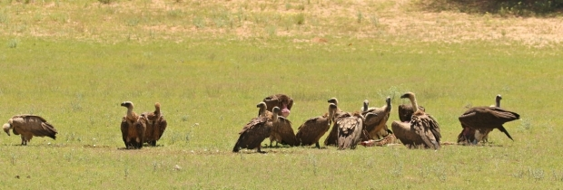 White-backed Vulture/Vautour africain