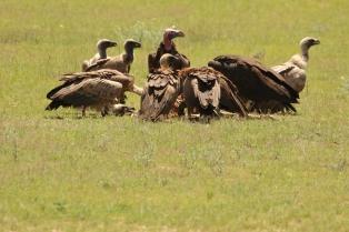 Lappet-faced Vulture/Vautour Oricou + Bateleur