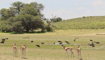 Springbok + Cigogne d'Abdim