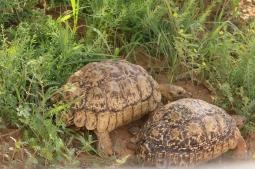 Léopard Tortoise/Tortue léopard