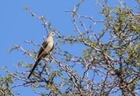 Namaqua Dove/Tourterelle masquée femelle