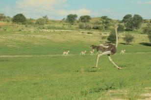 Cheetah - Hanri + le gang - Autruche