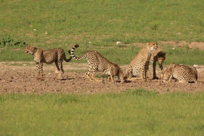 Cheetah - Hanri et le gang - 3ème kill