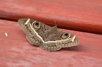 Papillon de nuit/Moth