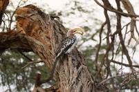 African Yellow-billed Hornbil/Calao leucomèle