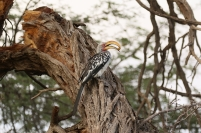 African Yellow-billed Hornbil/Calao leucomèle