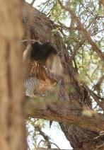 Red-necked Falcon/Faucon chiquera - harcelé par un Drongo brillant