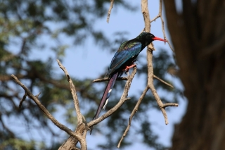 Green Wood-Hoopoe/Irrisor moqueur (Dalkeith)