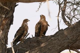 Tawny Eagle/Aigle ravisseur (14ème)