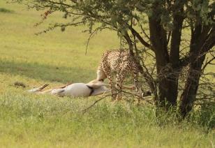 Cheetah - Cora (fille de Corinne)