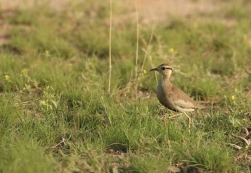 Temminck's Courser/Courevite de Temminck