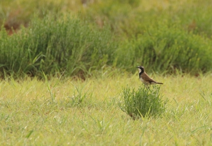 Capped Wheatear/Traquet du Cap