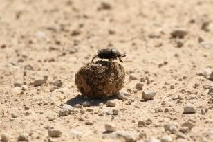 Bousier/Dung Beetle