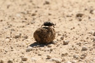 Bousier/Dung Beetle