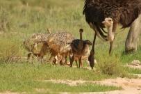 Ostrich/Autruche - près de Leeudril